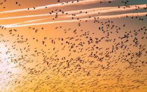 migrazione-uccelli-in-volo